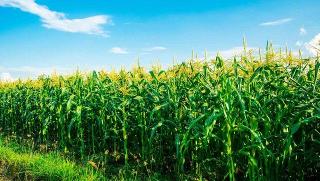 Best-liquid-fertilizer-for-corn