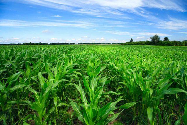 Best corn fertilizer-2200