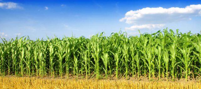 Best-fertilizer-for-corn