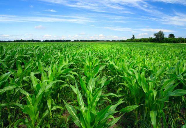 Fe-EDDHSA 3% chelated iron Micronutrient Fertilizer